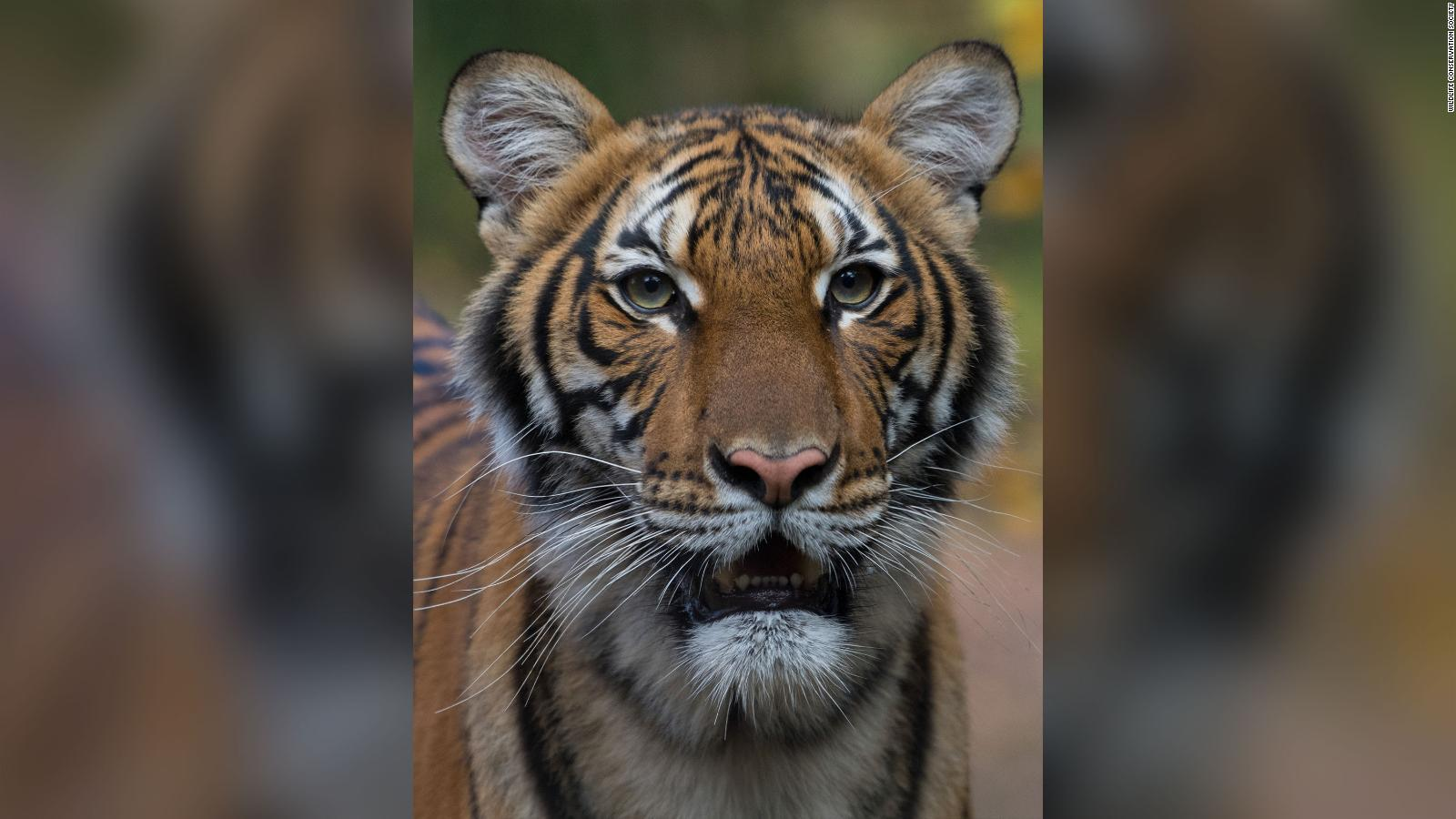 Tiger Tests Positive for CoronaVirus in New York